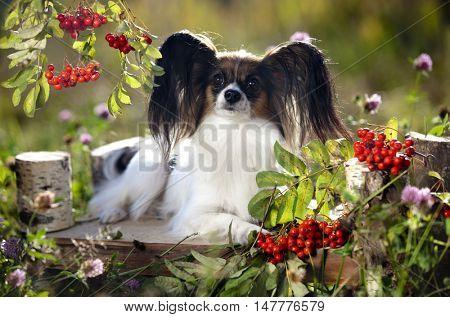 Papillon dog on autumn background with rowan berries