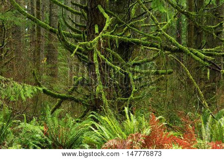 a picture of an exterior Pacific Northwest forest with mossy old growth Douglas fir trees