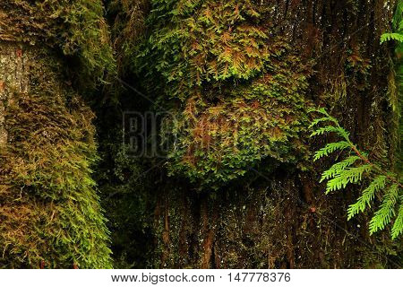 a picture of an exterior Pacific Northwest mossy old growth Big leaf maple tree