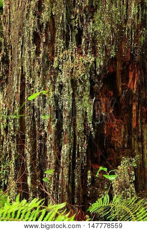 a picture of anterior Pacific Northwest old growth mossy Western red cedar tree trunk