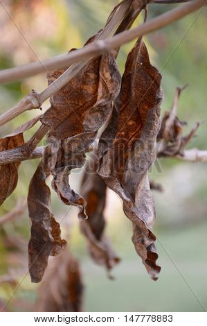 close up dry leaves hanging on branch tree