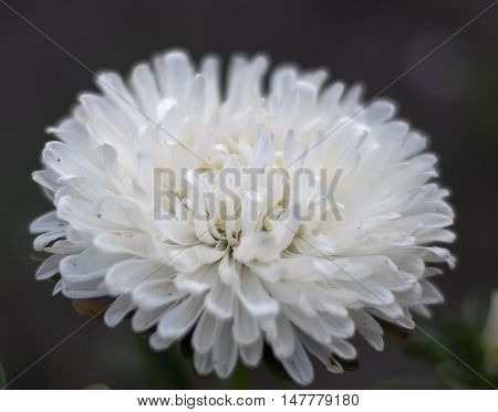 white asters flowers on a background of green garden pink asters flowers on a background of green garden