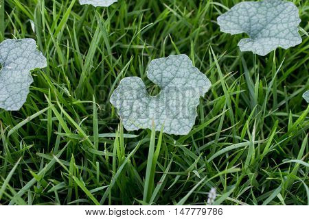 Heart shaped leaf shape, shaped, green, veins, tree,