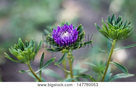 Blue asters in nature close-up. Aster is a genus of flowering plants in the family