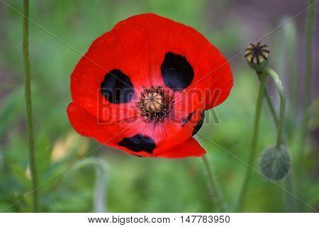 A beautiful flower of Papaver commutatum, Ladybird