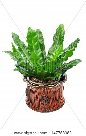 Bird's nest fern in clay pot isolated on white background