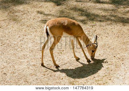 Mechelen, Belgium - 17 May 2016: Antelope In Planckendael Zoo.