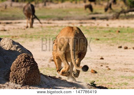 Lioness Getting Ready to Pounce on a wildebeest in the distance