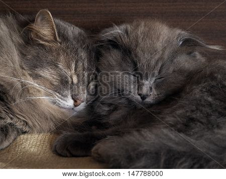 Cat and kitten are sleeping together. gray cats fluffy. Lovely pets love each other