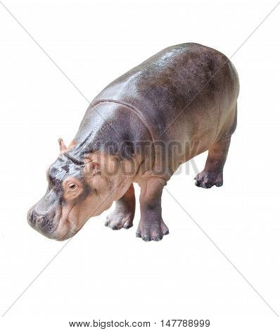 Beautiful hippopotamus isolated on a white background.