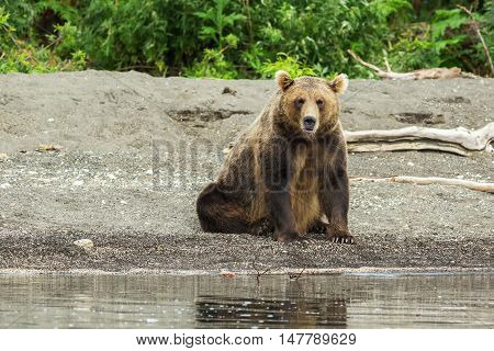 Brown bear on the shore of Kurile Lake. Southern Kamchatka Wildlife Refuge in Russia.