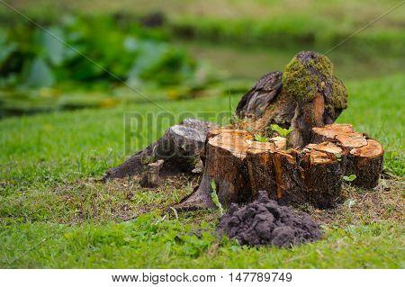 Beautiful stump of freshly sawn tree on the green grass.