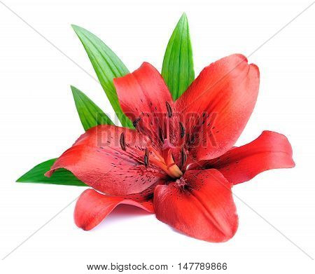 Red lily with leaves. Isolated on white background