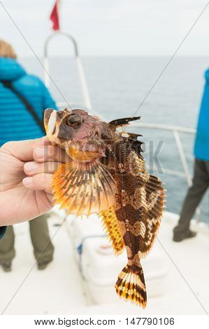 Hemilepidotus is a genus of sculpins. Bottom sea fishing in the Pacific near Kamchatka.