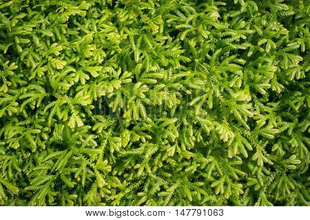 Abstract green leaf of spike moss Spike moss background.