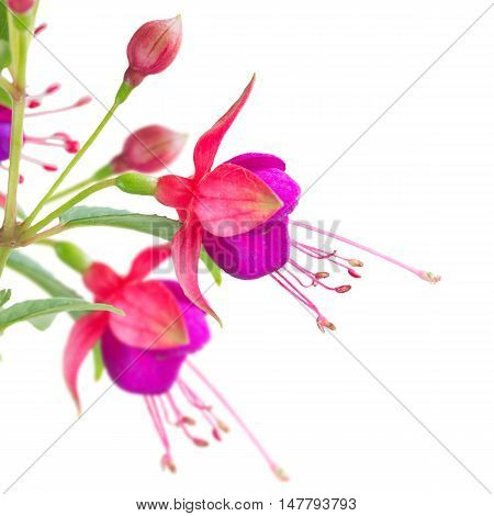 Fuchsia flowers and buds close up isolated on white background