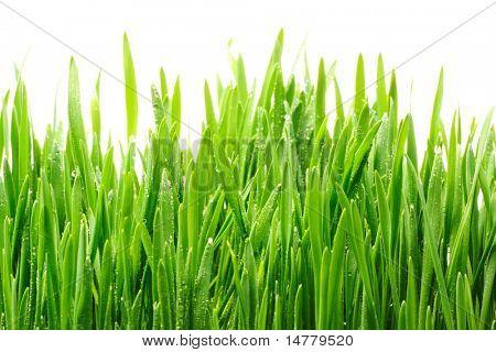 Gotas de agua en las hojas de la hierba