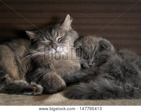 The cat and the cat pressed against each other. gray cats furry