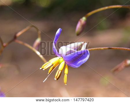 Tiny native Australian wildflower in the garden