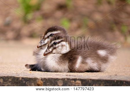 Birds of a feather stick together. Baby duckling siblings in Spring time.