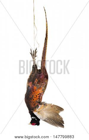 Dead pheasant hanging on a rope isolated on white
