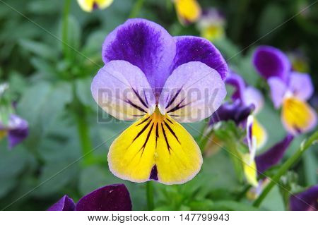 Whiskered and tiny viola flower face in Spring garden.