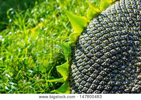 close up of the seeds in sunflower. green grass backgraund