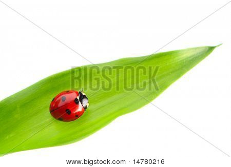 Ladybug on a leaf over white