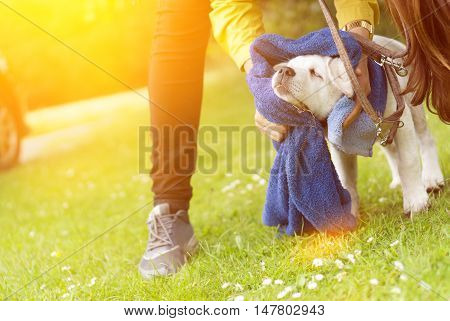 a dirty little labrador dog puppy is getting cleaned after a walk at sunset