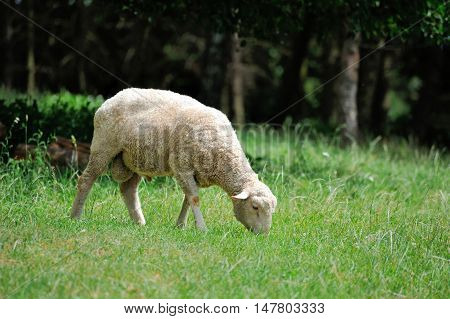 Sheep Portrait  On Nature Background