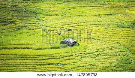 Terraced rice field in rice season in Sapa Vietnam