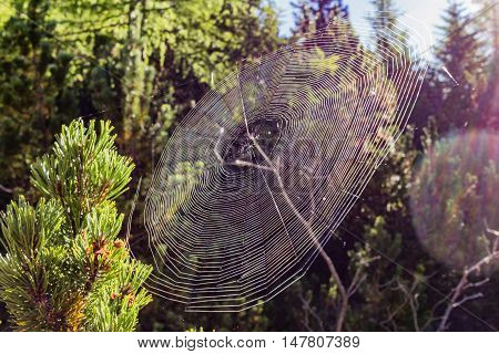 cobweb between two branches of a pine with a ray of sunshine