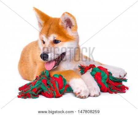 Cute happy Akita Inu purebred puppy dog isolated on white background. Shiba inu. 3 months old puppy playing with dog toy