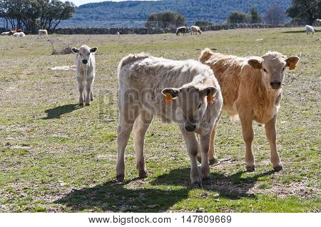 Calf grazing in a field in Guadarrama Mountains, Madrid, Spain