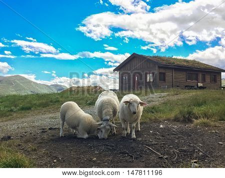 Traditional Norwegian house with grass roof and local white sheeps.