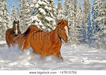 Bay and chestnut Arabian Horses running together in fresh snow at winter pasture.