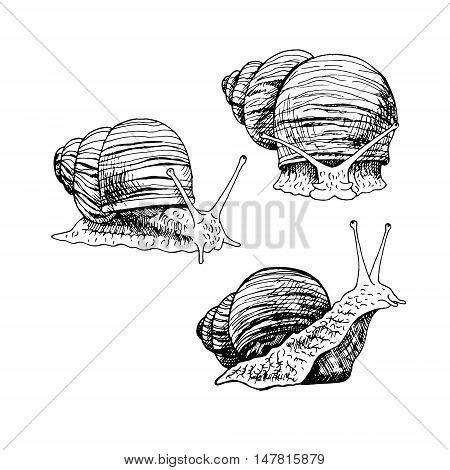 Hand drawn set of snails. Black and white vector sketch. Vintage image for snails farm. Doodle line illustration with animals.