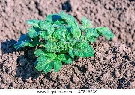 Closeup of a fresh green young potato plant growing in clay soil on a sunny day in the beginning of the summer season.