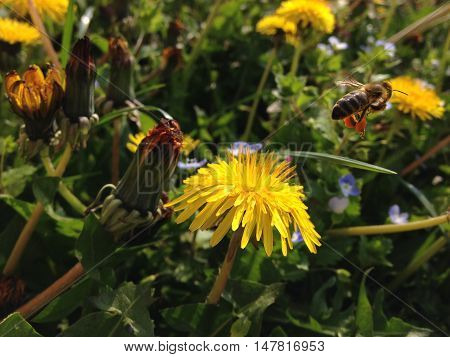 Photograph of honey bee carrying nectar flying away from flower