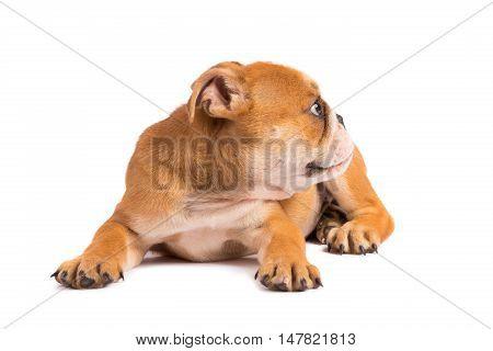 English Bulldog puppy on the white background