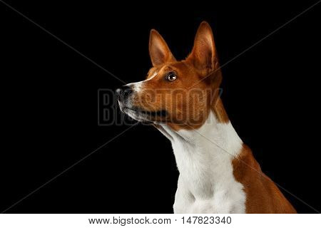 Close-up Pedigree White with Red Basenji Dog Stare up on Isolated Black Background Profile view