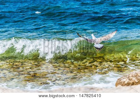 Lonely seagull flying and fishing over the Black sea