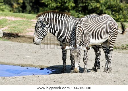 Two Grevy zebras near a pond