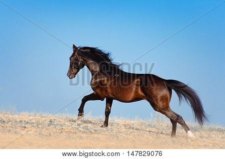 The stunning black stallion galloping across the field on a background of blue sky. Horse mane develops in the wind