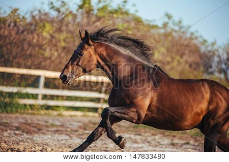Portrait of beautiful bay stallion in the sky in the fence. Horse galloping in paddock
