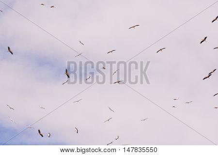 A Flock Of White Storks Against Blue Sky