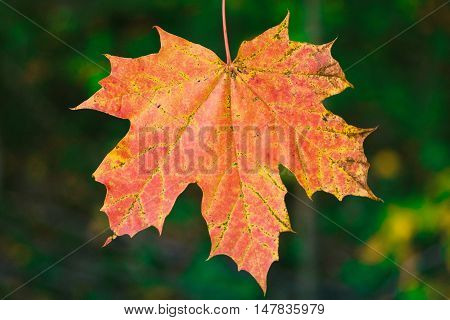 Closeup of autumn red maple leaf still attached to the tree