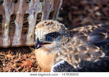 Portrait of a young falcon nature background
