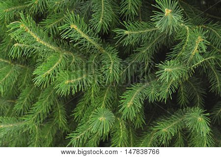 branches with needles of coniferous wood, natural texture