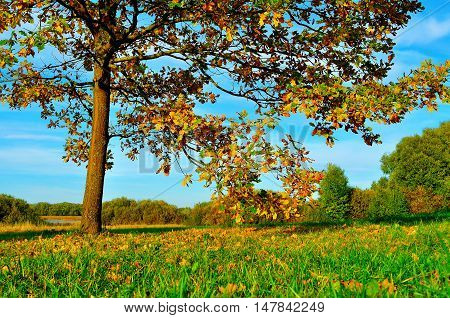 Colorful autumn field -yellowed autumn deciduous oak in autumn sunny field. Autumn landscape with orange autumn oak tree.Colorful autumn landscape of autumn nature. Autumn nature in soft evening light